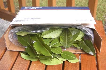 kaffir lime leaves