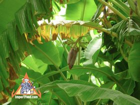 Thai Banana Flower 'Hua Plee'