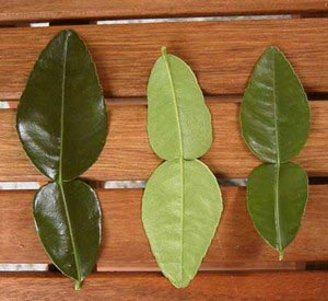 Fresh kaffir lime leaves, standard pack