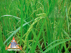 jasmine rice paddy