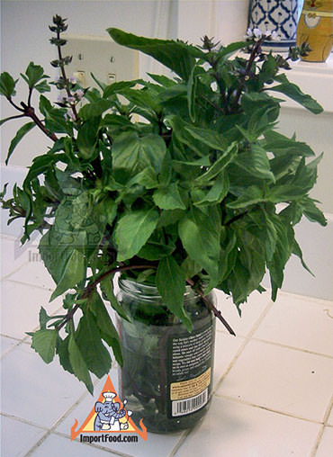basil in water