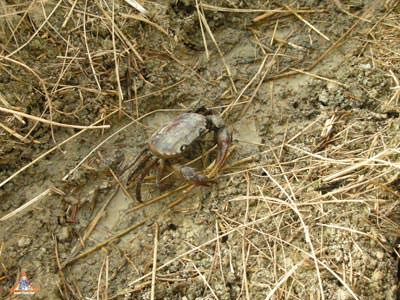 Poo Naa, the Interesting Rice Field Crab Used to Make Som Tum