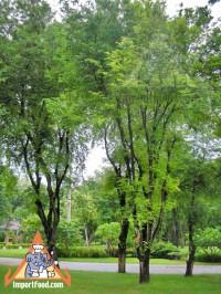 tamarindtrees.jpg