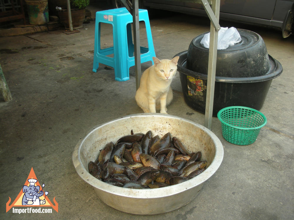 Thai Cat Watches Over Fish Bowl