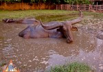 The Magnificent Thai Water Buffalo